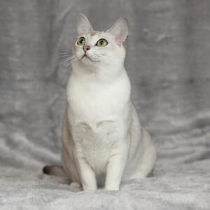 A lovely asian burmilla cat with a white chest and green eyes