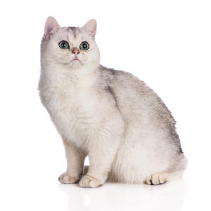 A british shorthair cat with a tipped coat