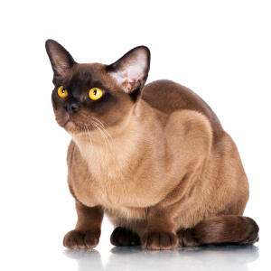 A chocolate burmese cat ready to pounce