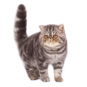 A cute tabby exotic shorthair cat with amber eyes