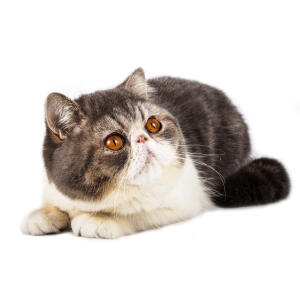 A tabby bicolour exotic shorthair cat lying down