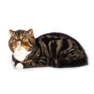 A tabby bicolour exotic shorthair cat lying down with a paw tucked underneath it