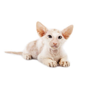 A Peterbald with its famous large ears