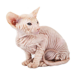 A hairless Peterbald cat with wrinkly skin