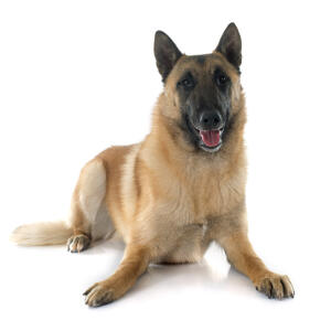 A beautiful Belgian Shepherd Dog (Malinois) lying down