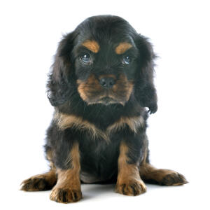 A beautiful, dark coated Cavalier King Charles Spaniel puppy