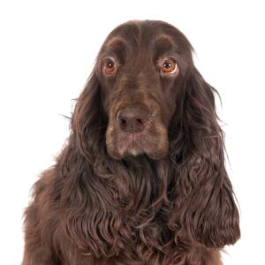 A gorgeous field spaniel with adorable eyes