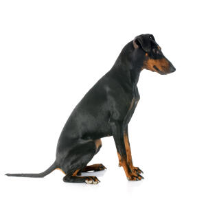 A Manchester Terrier with a wonderful, short black coat and beautiful long tail