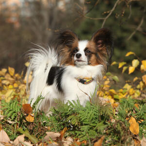 A plucky Papillon with a lovely fluffy coat