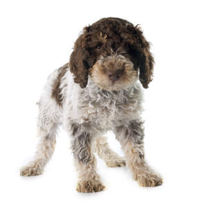 A young Portuguese Water Dog puppy standing confidently on all four paws