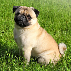 A beautiful, little Pug puppy sitting neatly on the grass