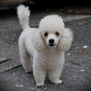 A wonderful, little, white coated Toy Poodle, showing off it's beautiful, tall tail