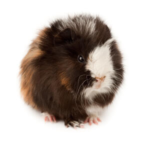 A wonderful little fluffy Abyssinian Guinea Pig