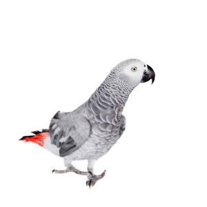 A African Grey Parrot showing off it's wonderful, red tail feathers