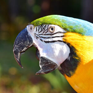 A close up of a Blue and Yellow Macaw's beautiful, black and white face