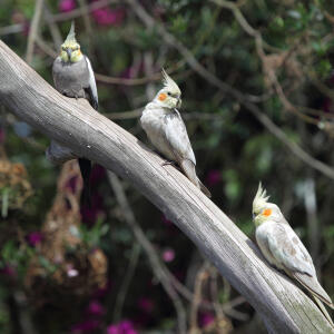 Three lovely, little Cockatiels perched on a long branch