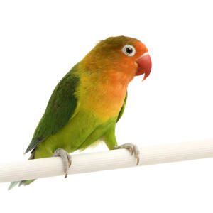 A wonderful Peach Faced Parakeet on it's cage perch