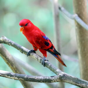 A wonderful Red Lory perched on a branch