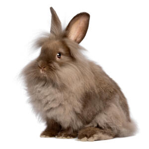 A Lionhead with incredible big ears