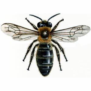 Communal Mining - Andrena Carantonica
