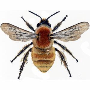 Bumblebee Brown-Banded Carder Bombus Humilis