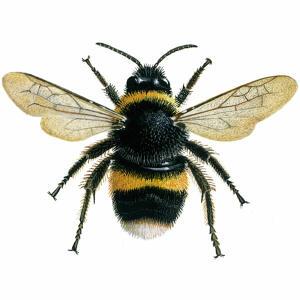 Bumblebee - Buff-tailed - Bombus terrestris