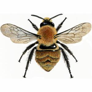 Bumblebee - Common Carder - Bombus pascuorum