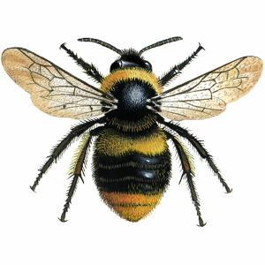 Bumblebee - Early - Bombus Pratorum