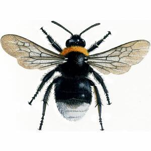Bumblebee - Forest cuckoo - Bombus sylvestris