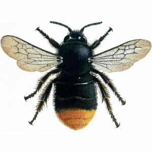 Bumblebee - Red-tailed - Bombus lapidarius
