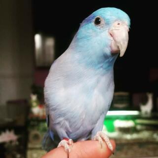 Zazu the parrotlet
