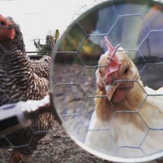 Chicken curiosity