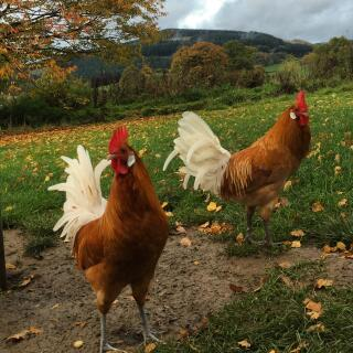 Frank & Jeffrey the friesian fowl boys