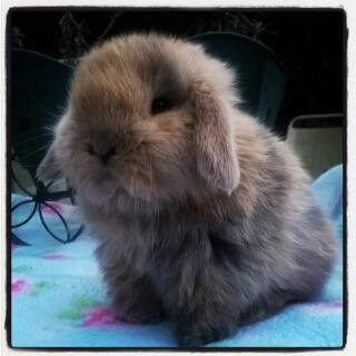 5 week old mini lop harlequin blue buddleia bunnies