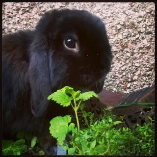 self black mini lop