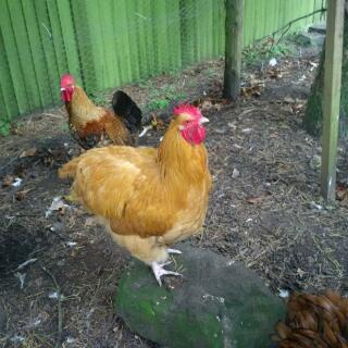 Buff Orpington Cockerel