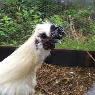 silkie cockerel
