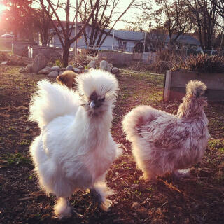Butternut and Silverstien. White and Splash Silkies.