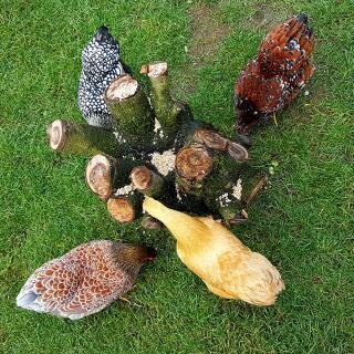 Kippen die eten zoeken
