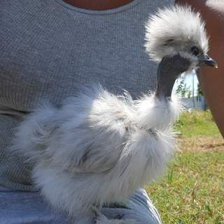 silkie for sale chickens breed information omlet
