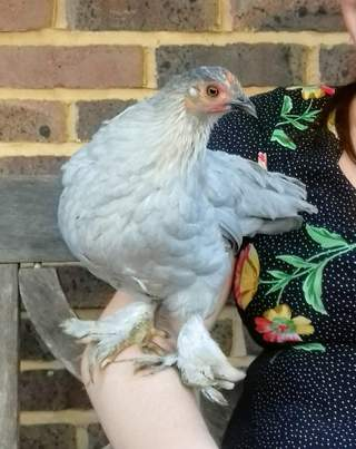 Perching Pekin - 10 week old hen