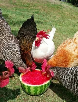Hønsepigerne