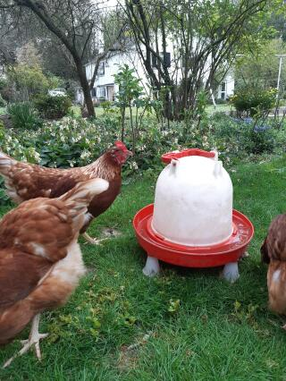 Chickens crowding for a drink!
