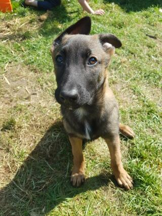 10 week stable colour malinois puppy