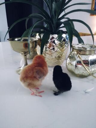 Black one is a booted bantam