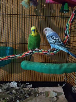 Bonded Budgies