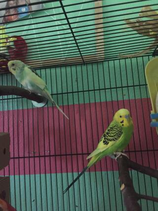 My budgies Phoenix and Cricket