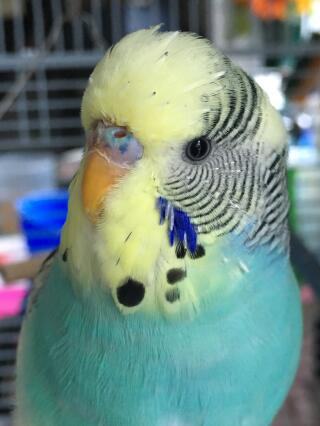 Papużka