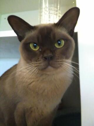 My beautiful chocolate burmese, Patrick