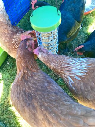 My girls loved their holder. They are constantly pecking in it. They also get crazy when I put watermelon in it. Good bye messy chicken coop with vegetable and fruit all over the place. I highly recommend it.